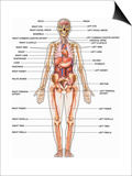Human Female Anatomy, with Major Organs and Structures Labeled Prints