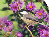 Carolina Chickadee (Poecile Carolinensis) in New England Asters, North America Prints by Steve Maslowski