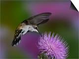 Ruby-Throated Hummingbird in Flight at Thistle Flower, Archilochus Colubris Posters by Adam Jones