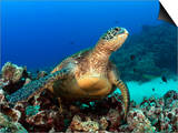 Green Sea Turtle, Chelonia Mydas, Resting on a Coral Reef Off Maui, Hawaii, USA Prints by David Fleetham
