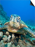 Green Sea Turtle Head (Chelonia Mydas), an Endangered Species, Hawaii, USA Posters by David Fleetham