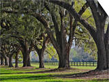 Stately Live Oak Trees Draped in Spanish Moss, Boone Hall Plantation Prints by Adam Jones