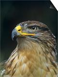 Ferruginous Hawk Head, Buteo Regalis, Southwestern USA Print by Joe & Mary Ann McDonald