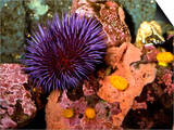 Purple Sea Urchin (Strongylocentrotus Purpuratus), Seattle Aquarium, Washington Posters by Buff & Gerald Corsi