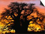 African Baobab Tree (Adansonia Digitata) Silhouetted at Sunset, Tarangire National Park, Tanzania Art by Adam Jones