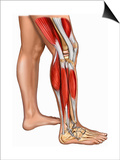 Illustration of the Muscles of the Right Leg, Including the Gastrocnemius, Biceps Fermoris Prints by  Nucleus Medical Art
