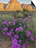 Four O'Clock (Mirabilis Multiflora) Blooming with Mojave Yucca (Yucca Schidigera) Prints by Stephen Ingram