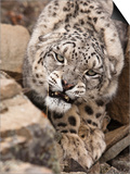 Snow Leopard (Panthera Uncia), Controlled Situation Posters by Joe McDonald