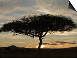 Twilight and a Silhouetted Acacia Tree, Masai Mara, Kenya Posters by Mary Ann McDonald
