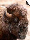 Bull Bison Head in Winter (Bison Bison), North America Posters by Tom Walker