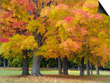 Maple Trees in Autumn Colors, Near Concord, Massachusetts Posters by Adam Jones