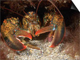 American Lobster Head, Homarus Americanis, Atlantic Coast of North America Print by David Wrobel