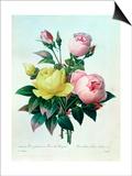 """Rosa Lutea and Rosa Indica, from """"Les Choix Des Plus Belles Fleurs,"""" 1827 Posters by Pierre-Joseph Redouté"""