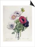 """Anemone: Simple, from """"Les Choix Des Plus Belles Fleurs"""" Poster by Pierre-Joseph Redouté"""