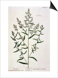 "Tarragon, Plate 116 from ""A Curious Herbal,"" Published 1782 Print by Elizabeth Blackwell"