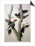 "Ivory-Billed Woodpecker, from ""Birds of America,"" 1829 Affiches par John James Audubon"