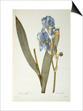 Iris Pallida, from Les Liliacees, 1812 Poster by Pierre-Joseph Redouté