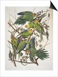 "Carolina Parakeet, from ""Birds of America,"" 1829 Affiches par John James Audubon"