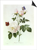 Rosa Bengale the Hymenes Prints by Pierre-Joseph Redouté