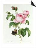 Rosa Centifolia Print by Pierre-Joseph Redouté