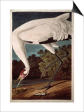 "Whooping Crane, from ""Birds of America"" Posters by John James Audubon"