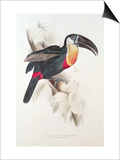 Sulphur and White Breasted Toucan Poster by Edward Lear
