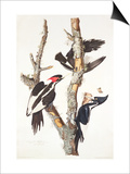 Ivory-Billed Woodpecker, 1829 Prints by John James Audubon
