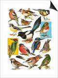 British Birds Prints by  English School