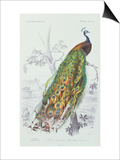 The Peacock, Illustration from 'Dictionnaire Universel d'Histoire Naturelle' by Charles d'Orbigny,  Posters by Edouard Travies