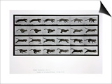 Cat Running, Plate 720 from 'Animal Locomotion', 1887 Prints by Eadweard Muybridge