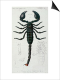 African Scorpion Posters by Francois Le Vaillant