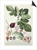 Ficus (Fig) (Coloured Engraving) Prints by Georg Dionysius Ehret