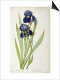 Iris Germanica, from Les Liliacees Poster by Pierre-Joseph Redouté
