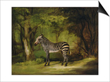 A Zebra, 1763 Posters by George Stubbs