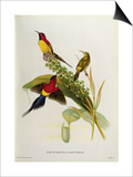 Nectarinia Gouldae from 'Tropical Birds' Posters by John Gould