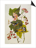 Black and Yellow Warbler. Magnolia Warbler Posters by John James Audubon
