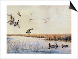 Ducks Landing, 1919 Poster by Louis Agassiz Fuertes