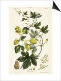 Hop Vine, from The Young Landsman, Published Vienna, 1845 Prints by Matthias Trentsensky