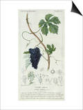 Grape Vine Botanical Plate, circa 1820 Prints by Pierre Jean Francois Turpin