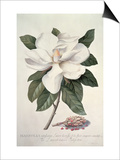 Magnolia Art by Georg Dionysius Ehret