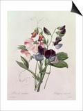 Sweet Peas (Lathyrus Odoratur) from 'Choix Des Plus Belles Fleurs', 1827-33 Posters by Pierre-Joseph Redouté