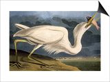 "Great White Heron from ""Birds of America"" Prints by John James Audubon"