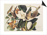 Black-Billed Cuckoo on Magnolia Grandiflora, 1828 Prints by John James Audubon