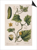 Garden Cucumber, Plate 4 from A Curious Herbal, Published 1782 Prints by Elizabeth Blackwell