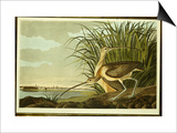 Male and Female Long Billed Curlew Print by John James Audubon