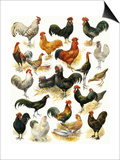 Poultry Posters by  English School