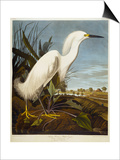 Snowy Heron or White Egret / Snowy Egret Prints by  Audubon