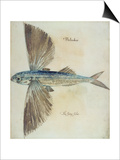 Flying-Fish Prints by John White