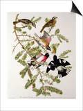 "Rose-Breasted Grosbeak from ""Birds of America"" Print by John James Audubon"