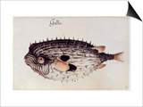 A Burrfish Prints by John White
